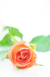 Single orange rose Royalty Free Stock Photo