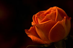 Single Orange Spray Rose Royalty Free Stock Images