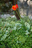 Single Orange Tulip. A single orange tulip surrounded by nice small plants Royalty Free Stock Photography