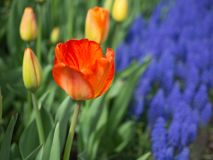 Orange tulip with Grape Hyacinth in the background stock images