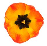 Single orange tulip Royalty Free Stock Image