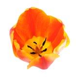Single orange tulip Stock Photos