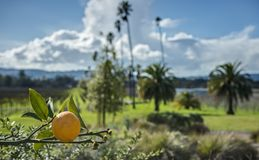 Single Orange on Vine with California Vineyard in Background. A Single Orange Ripens on the Vine with a California Vineyard in the Distance on a Sunny Day Royalty Free Stock Images