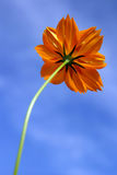 Single orange yellow flower and blue sky Royalty Free Stock Photos