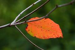 Single Orange, Yellow and Red Autumn Stock Photo
