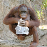 Single orangutan smile, looking to you. Royalty Free Stock Image