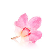 Single orchid blossom, isolated Royalty Free Stock Photo