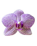 Single orchid flower Royalty Free Stock Image