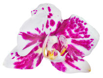 Single orchid flower with pink spots isolated on white Stock Photography
