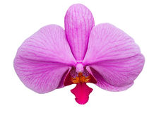 The single orchid pink color on white isolate. Royalty Free Stock Photography