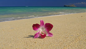Single Orchid on Stunning Hawaii Beach Stock Photos