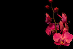 Orchids on a black background. Single orchids on a black background Royalty Free Stock Image