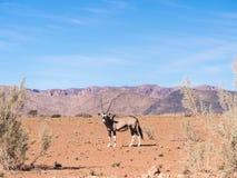 Single oryx gazelle (gemsbok) in Namibia Royalty Free Stock Photos