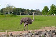 Single ostrich in fota wildlife park Stock Image