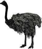 Single ostrich isolated on white background Royalty Free Stock Photography