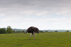 Single ostrich walking along a green field Stock Photos