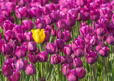 Single Out Tulip. Yellow tulip standing out of the crowd Stock Photo