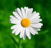 Single ox-eye daisy. Closeup of a perfect ox-eye daisy against a deep green background royalty free stock images