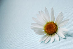 Single ox-eye daisy flower. Ox-eye daisy flower on blue textile background royalty free stock photos