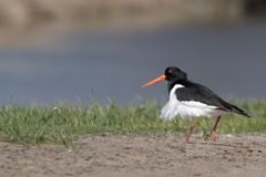 Single oystercatcher. Black and white bird with long straight red beak. Standing in green grass with blurred background. Summer in Kiev. Ukraine Stock Photography