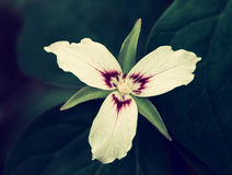 Single Painted Trillium - Vintage Royalty Free Stock Photo
