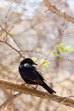Single Pale-winged Starling, Namibia Royalty Free Stock Image