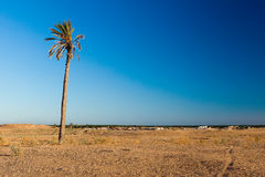 Single palm in desert area of Douz Tunisia North Africa Stock Photography