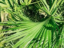 Single palm frond. A palm tree leaf in focus creates nice background Stock Photography