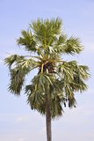 A single palm. With sky background Royalty Free Stock Photos