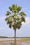 A single palm. With sky background Stock Image