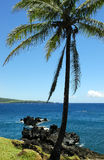 Single Palm Tree. With lava rocks and blue ocean in background Royalty Free Stock Photo