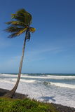 Single palm tree on beach. With shadow, Dominica in the Caribbean with blue sky in background Stock Photography