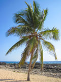 Single palm tree on a beach. With blue sky Stock Image