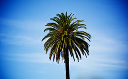 Single Palm Tree. Beauty Single Palm Tree against Blue Cloudy Sky in Summer Day Outdoors Stock Photography