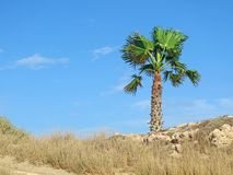 Single palm tree on beige stony dry underground with blue cloudy sky royalty free stock images