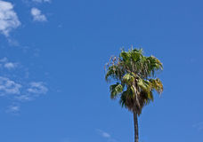 Single Palm Tree in Blue Sky. Single palm tree in summer deep blue sky Royalty Free Stock Photography