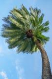 Single palm tree on blue sky background. THe single palm tree on blue sky background Stock Images