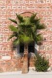 Single palm tree. Close up Royalty Free Stock Photo