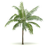 Single Palm Tree Royalty Free Stock Images