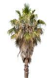Single palm tree isolated on white Stock Photo