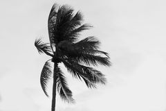A single palm tree pulled by gusty wind on a tropical beach with Stock Images
