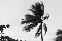 A single palm tree pulled by gusty wind on a tropical beach with. Warm humid air blowing through the coconut palm fronds.  Copyspace left Royalty Free Stock Image