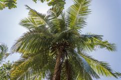 Single Palm Tree in Seychelles. Palm Tree In Seychelles Praslin Island with coconut fruit Royalty Free Stock Photos