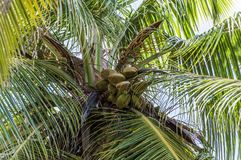 Single Palm Tree in Seychelles Royalty Free Stock Photo