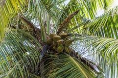 Single Palm Tree in Seychelles. Palm Tree In Seychelles Praslin Island with coconut fruit Royalty Free Stock Photo