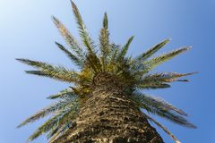 Single palm tree. In the city of Split , close up view from the bottom Stock Photos
