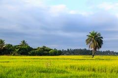 Single palm tree standing in a rice field lit by morning sun. Single palm tree standing in a green rice field lit by morning sun Stock Images