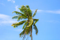 Single palm tree top in sky. Sunny day in tropical island. Exotic nature scenery. Coco palm tree photo for wallpaper or banner template. Sunshine and cloudy Stock Photos