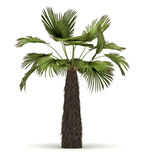 Single Palm Tree Stock Images