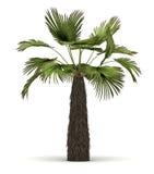 Single Palm Tree stock images